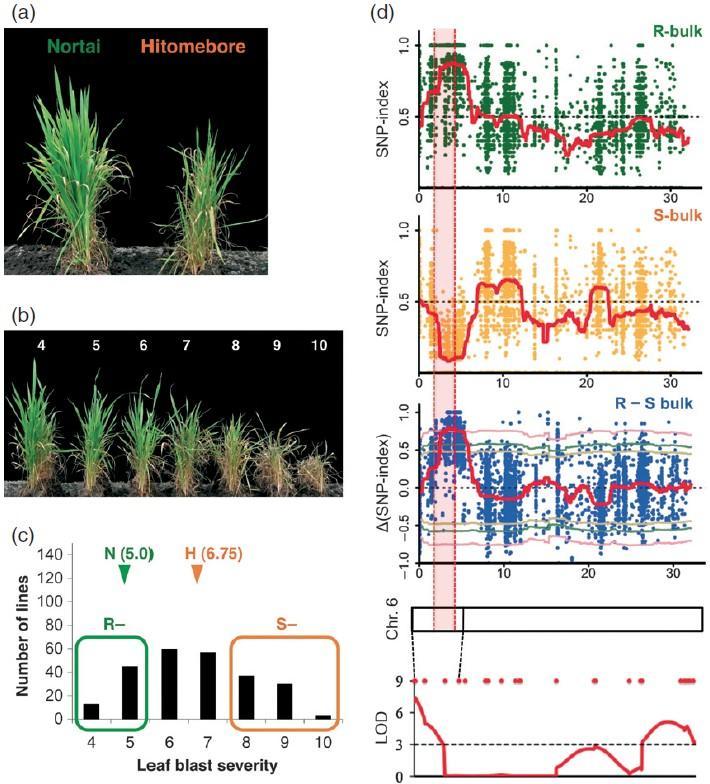 Fig 2. Application of BSA method in identification of rice blast resistance QTL.