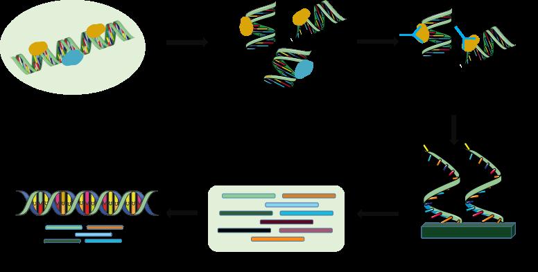 ChIP-Seq sequencing workflow - CD Genomics.