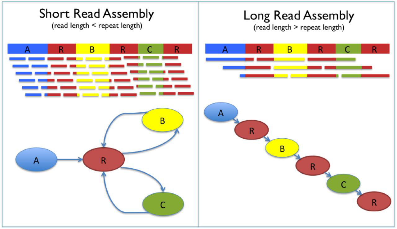 Comparison between short-read assembly and long read assembly.