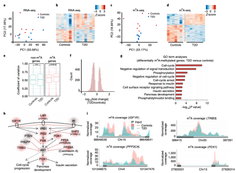 RNA N6-methyladenosine sequencing reveals a homogeneous m6A decoration in human T2D islets.