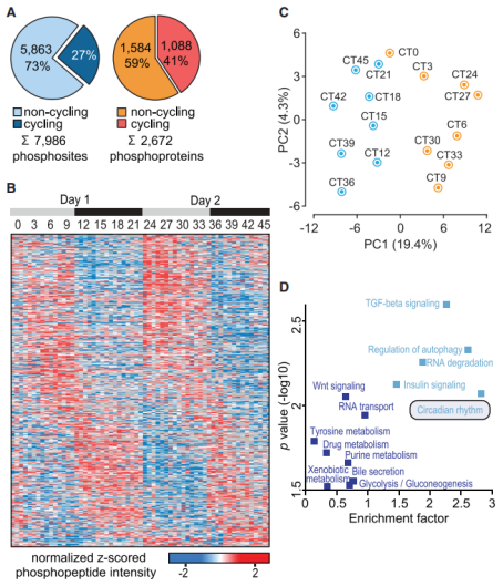 Phosphoproteome Oscillations inthe Mouse Livers.
