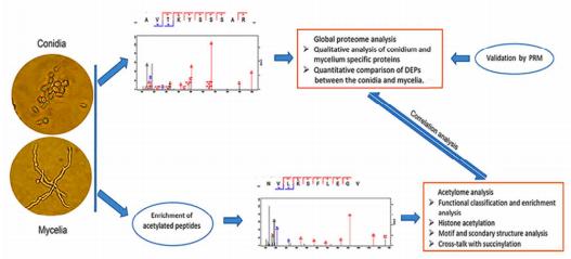 Research process of lysine acetylation of Trichoderma rubrum.