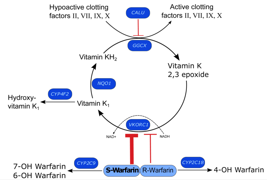 Fig 2. Genes involved in warfarin metabolism and mechanism of action.