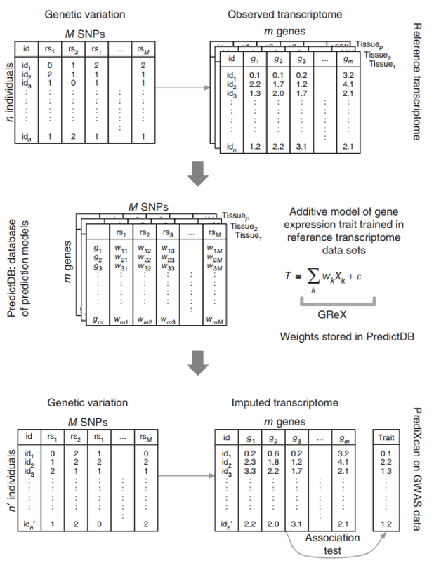 Fig 2. PrediXcan frameworks, the workflow illustrates the steps used in developing the PrediXcan method.