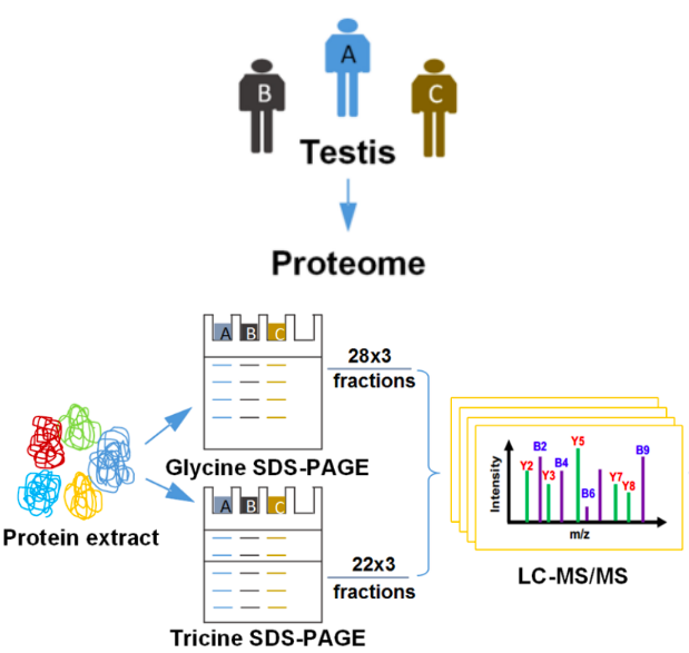 Flow chart of protein mass spectrometry identification experiment.
