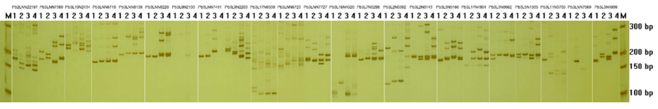 Fig 2. PAGE results from the PCR amplification of 23 SSR primer pairs at a 60 °C annealing temperature.