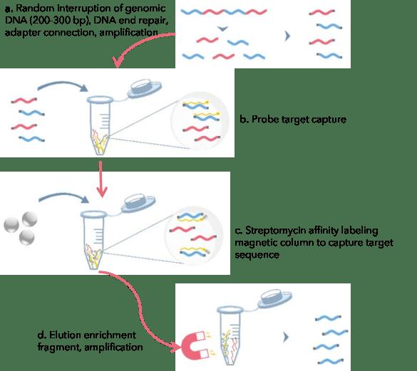 Principle of liquid phase capture sequencing - CD Genomics