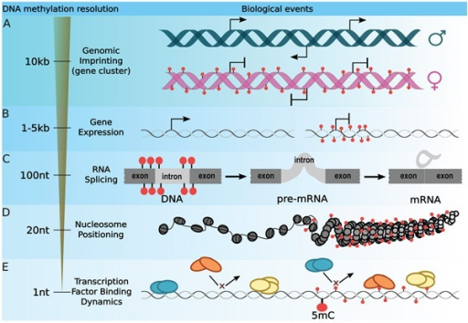 Optimizing the DNA methylation resolution according to a biological context. The most widely used strategy for integrating DNA methylation with gene regulation is to average CpG methylation signal throughout wide loci.